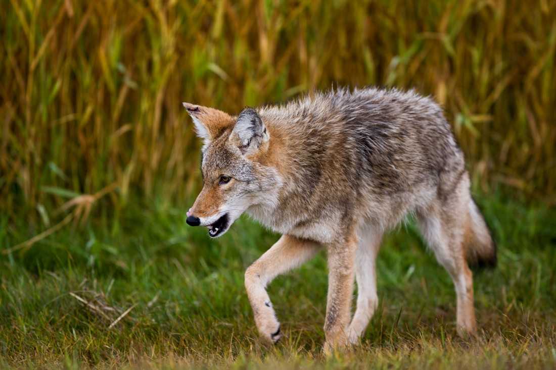 A young coyote (canis latrans) strolls through Elk Island National Park during an early autumn morning, looking for food, Alberta wildlife. Sidney Blake Photography. No. 0324.