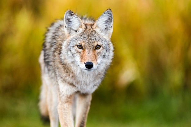 A young coyote (canis latrans) strolling through the fields and parkway during an early autumn morning. He shows signs of recent battle, true to his wild nature, Alberta wildlife.