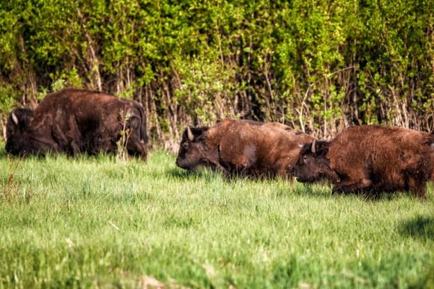 Small Plains bison herd (bison bison bison) roam through the park grasslands during an early summer morning at Elk Island National Park, Alberta wildlife environmental portrait.