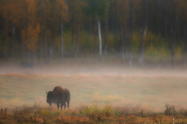 Plains bison cows (bison bison bison) graze during a foggy sunrise against a backdrop of trees with autumn colours at Elk Island National Park, Alberta wildlife environmental portrait. Copy space horizontal.
