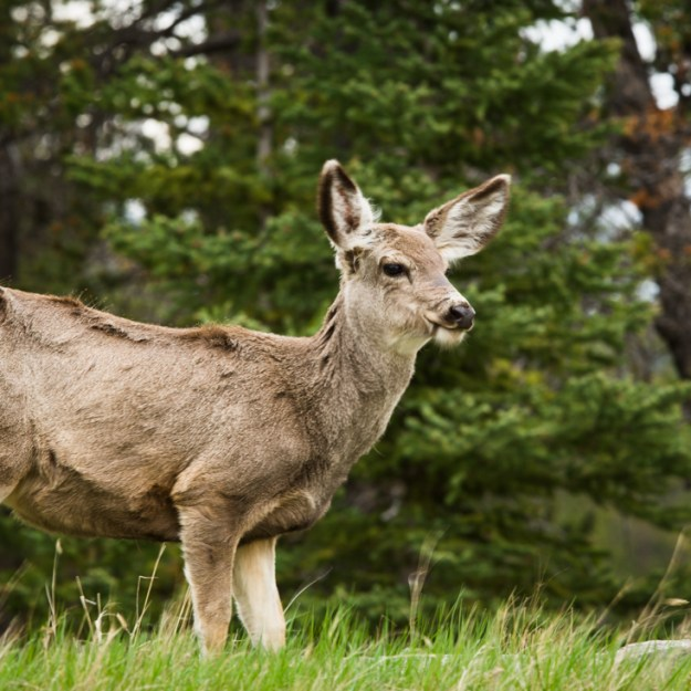 Mule deer doe ( Odocoileus hemionus) is chewing grass in the woods during a spring evening at Jasper National Park, Alberta wildlife environmental portrait.
