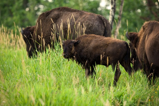 Small herd of Plains bison (bison bison bison) wander through the grasslands during late summer at Elk Island National Park, Alberta wildlife.