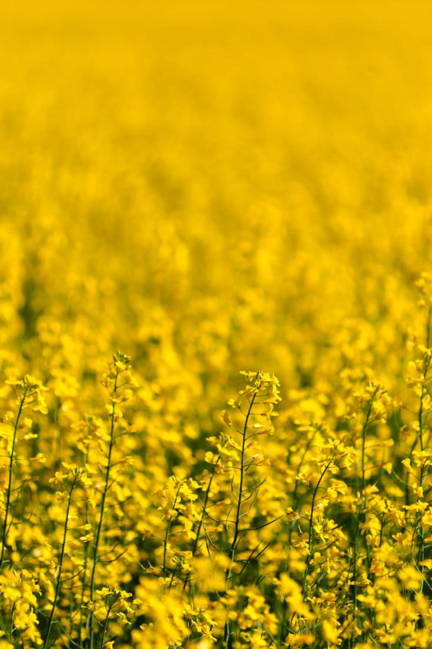 Closeup of canola (oilseed) crop blooms during a summer morning, Alberta agriculture.