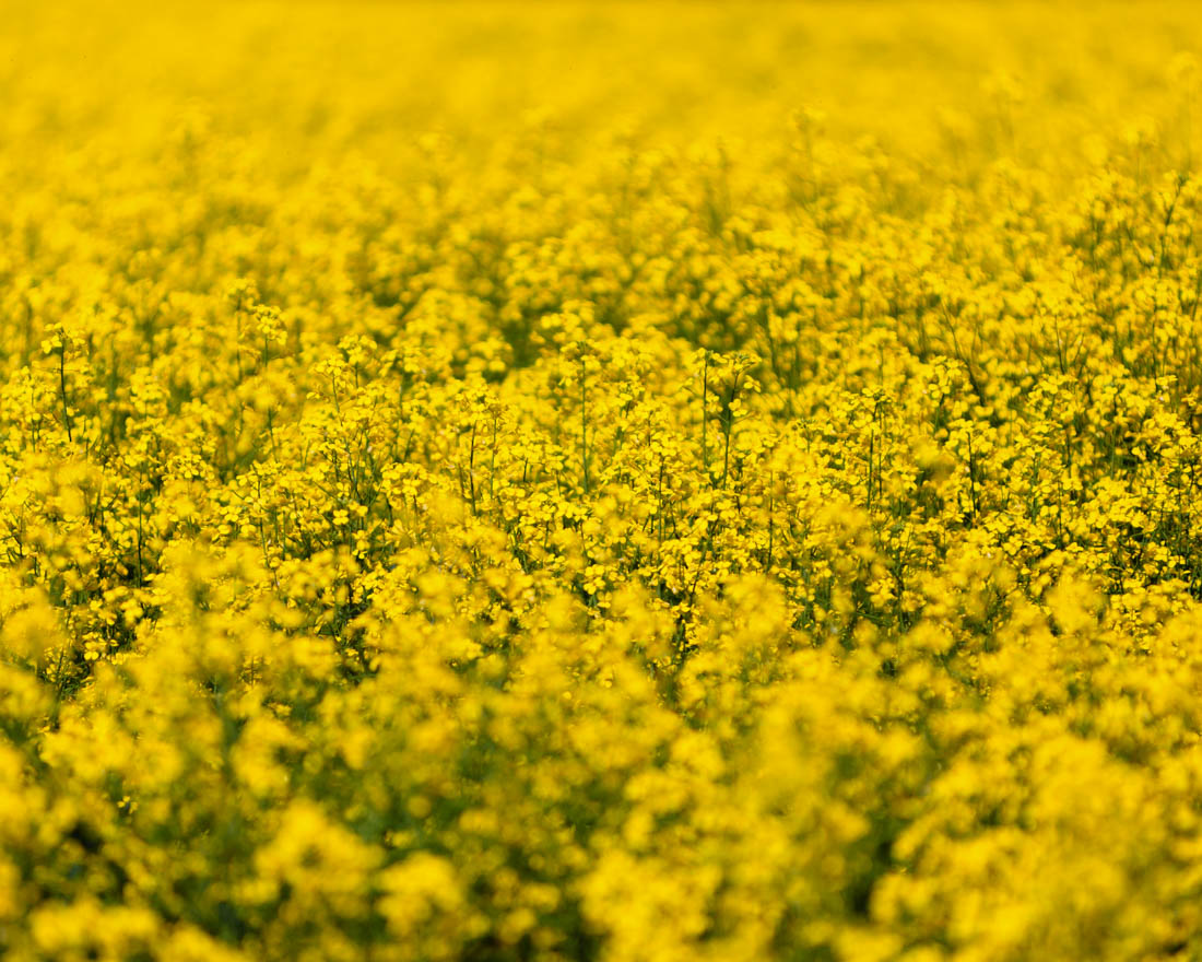 Closeup of canola crop field in bloom during a summer morning, cropped image.