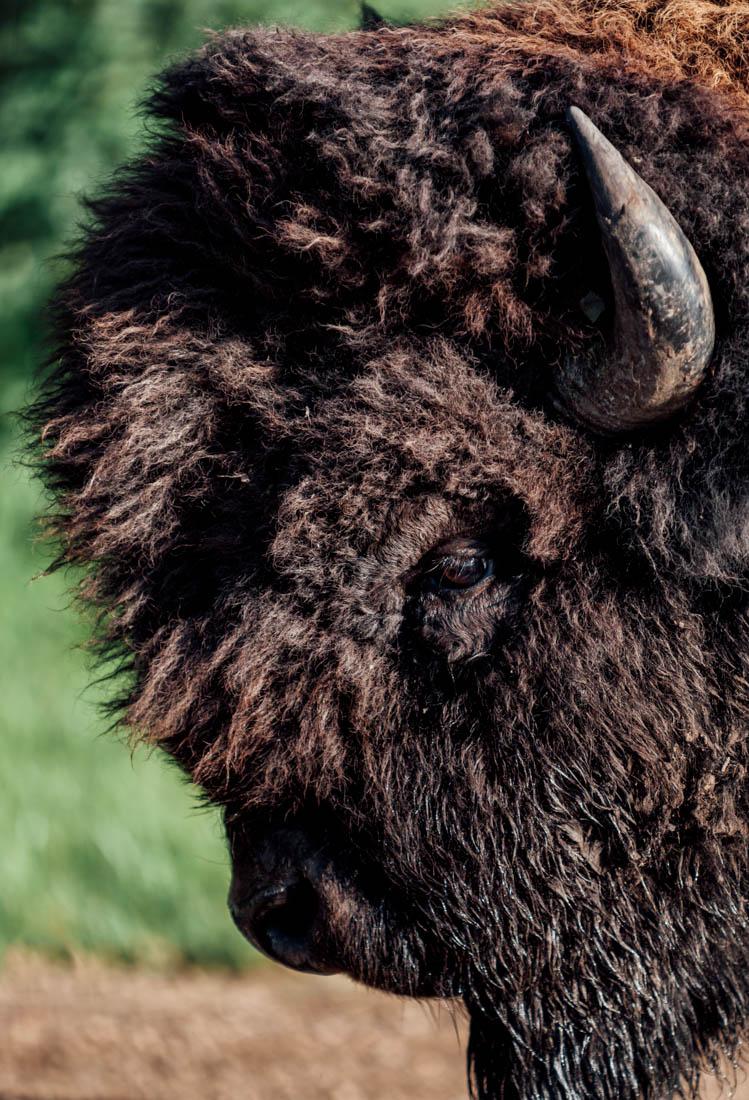 Plains bison bull (bison bison bison) roaming near the road during an early summer morning at Elk Island National Park, Alberta wildlife portrait.