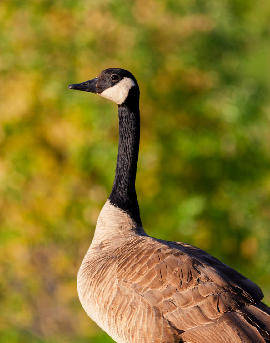 Side portrait of a Canada goose mama (Branta canadensis) shortly after a strong sunrise during the very end of spring at Elk Island National Park, Alberta wildlife.