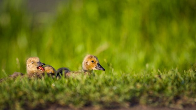 Canadian geese goslings (Branta canadensis) slowly wake up during a summer sunrise at Elk Island National Park, Alberta wildlife.