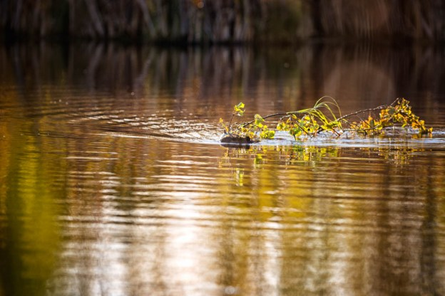 North American beaver (castor canadensis) swims to gather materials to construct its lodge during an early autumn morning at Elk Island National Park.
