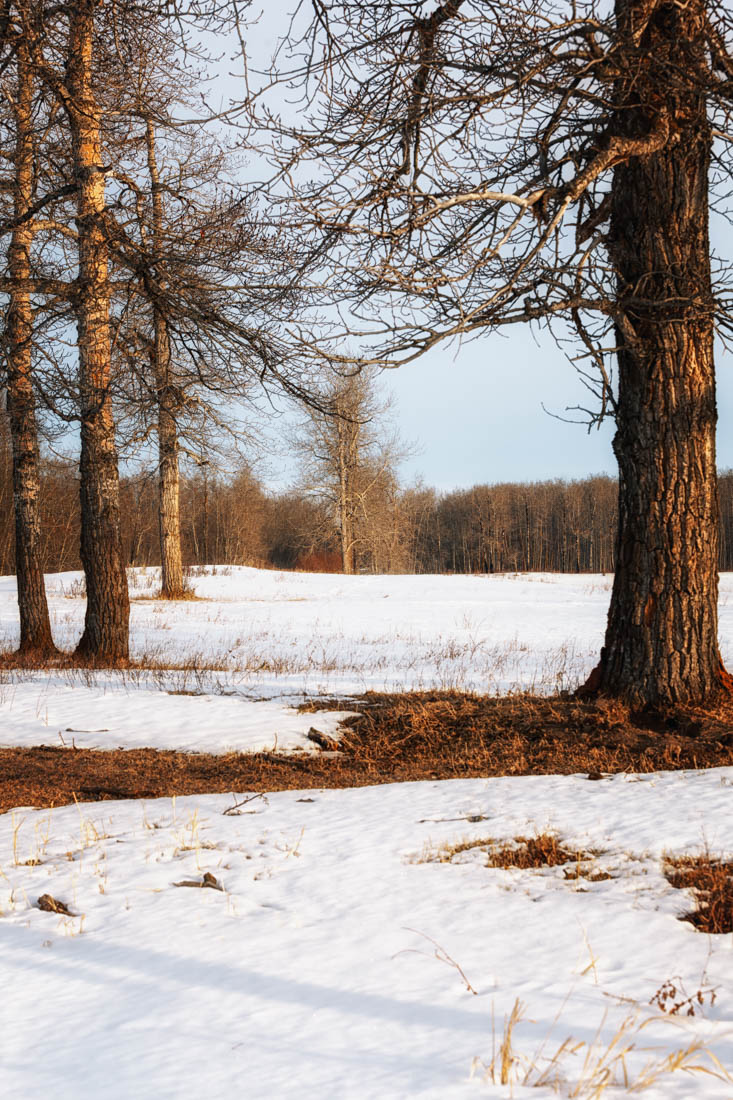 Winter Alberta landscape at Elk Island National Park with light early morning shadows and light cast over the snow on the Bison Loop. Copy space, vertical. No. 9393.