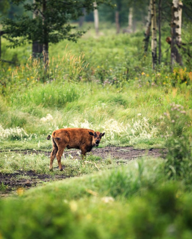 Plains bison calf (Little Red) is calling for her mother nearby in a field of lush vegation on the Bison Loop at Elk Island National Park, Alberta extirpated wildlife.