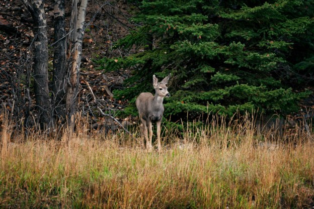 Young mule deer doe (Odocoileus hemionus) stands alert in her natural habitat as she senses the presence of others during an early autumn evening along Maligne Lake Road in Jasper National Park.
