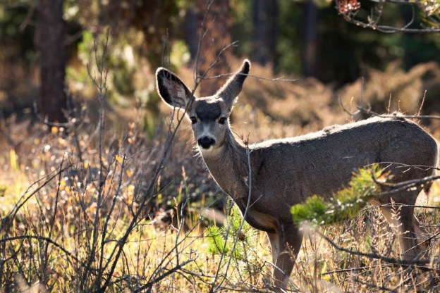 Mule deer doe (odocoileus hemionus) is alert as she sense another presence in the woods during a autumn sunrise in Jasper National Park, Alberta wildlife.