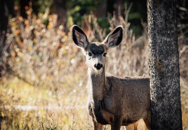 Mule deer doe (odocoileus hemionus) stands alert with curiosity, bathed in early morning rim lighting at Jasper National Park. Alberta wildlife.