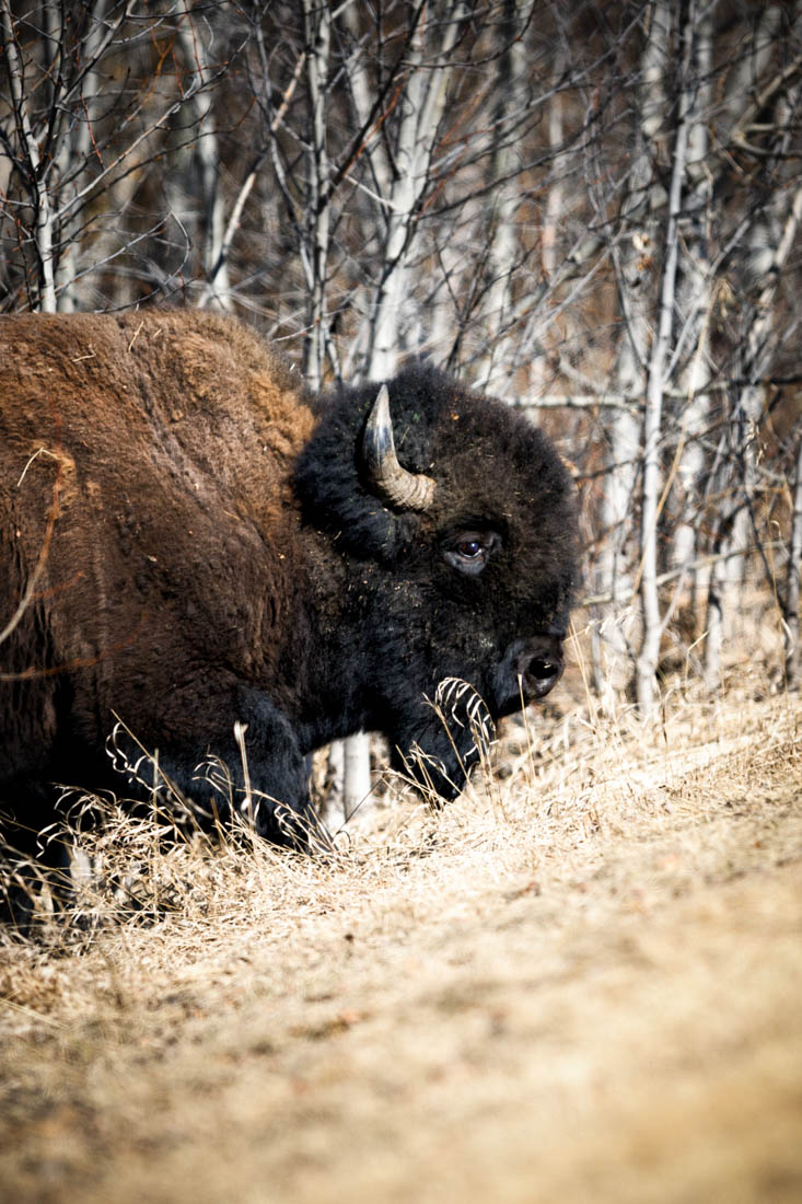 Plains bison bull climbs from the deep brush to find food at Elk Island National Park, early spring.