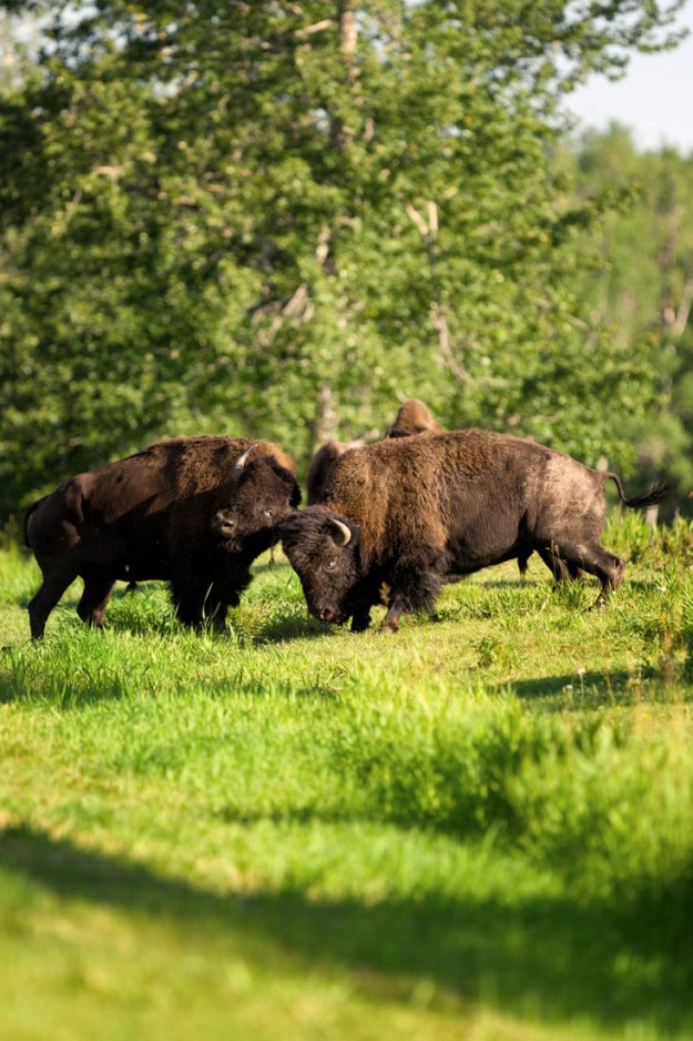 Two young plains bison bulls (bison bison bison, extirpated species) sparring during the annual bison rut at Elk Island National Park.