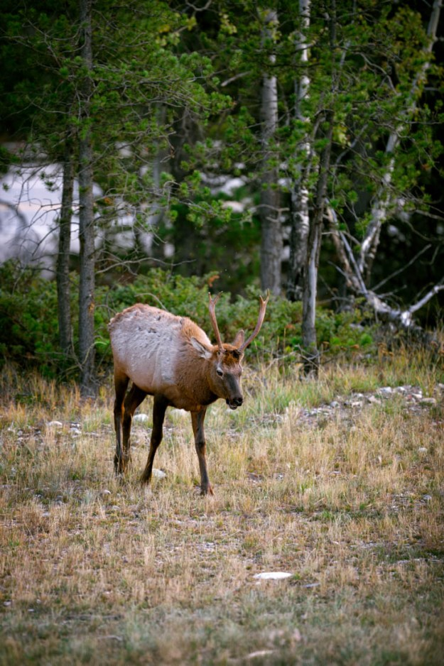 Young bull elk finds his way towards his small harem during his first rutting season in Jasper National Park, Alberta wildlife.