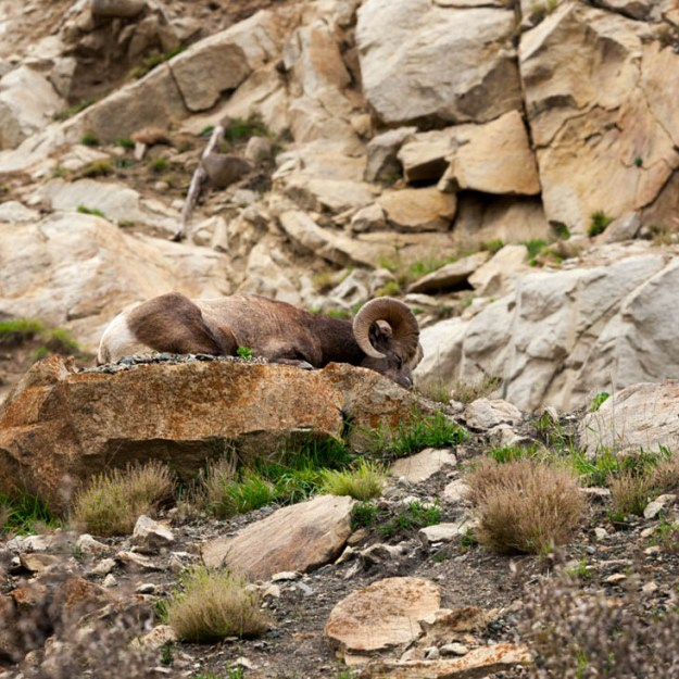 A well camouflaged bighorn sheep ram (Ovis canadensis) is sleeps on the rocky mountain terrain at Jasper National Park during an early autumn afternoon, Alberta Canadian Rockies wildlife environmental portrait.