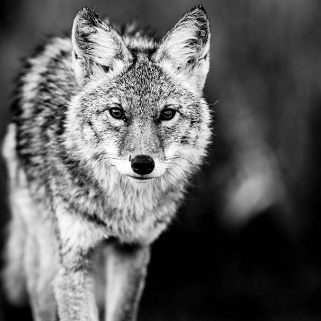 Black and white image of a young coyote (canis latrans) as he strolls through Elk Island National Park during an autumn morning. He shows signs of recent battle which is true to his wild nature, Alberta wildlife.