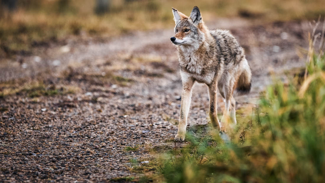 A young coyote (canis latrans) strolls through Elk Island National Park during an autumn morning. He shows signs of recent battle which is true to his wild nature.