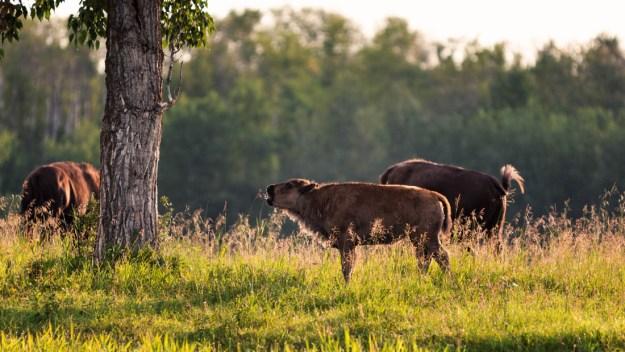 Small plains bison herd (bison bison bison, extirpated species) eating nutrient filled vegetation during a summer morning at Elk Island National Park.