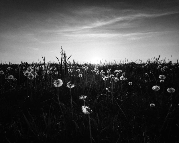Dandelion field during a summer sunset, black and white Alberta landscpape.