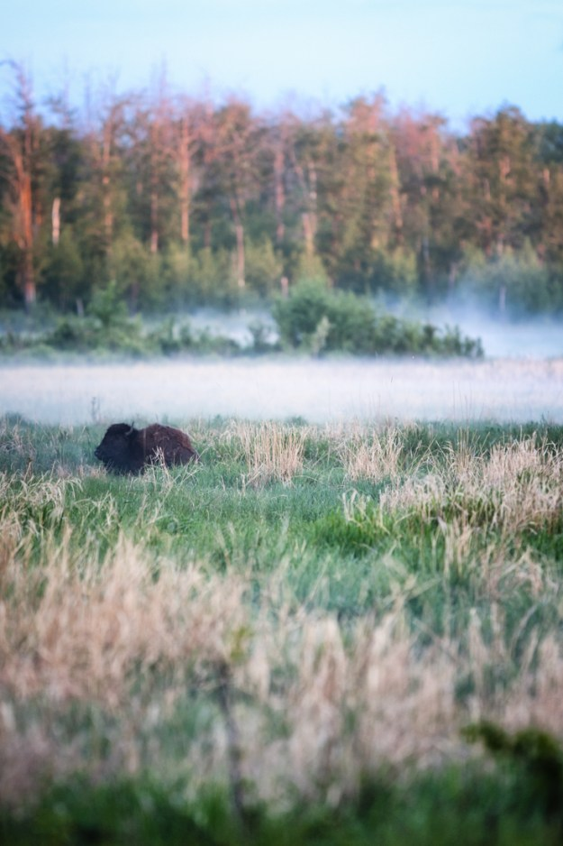 Plains bison cow settles in amongst the dissipating fog during an early summer morning at Elk Island National Park.