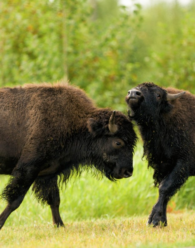 Two young plains bison bulls are sparring during the annual bison rut, extirpated wildlife.