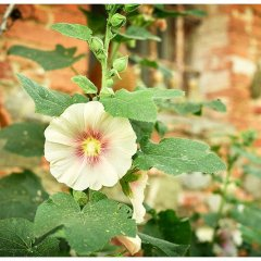 Image showing holly hock flowers in peach colour with green leaves in the foreground and in the background the walls of a tuscan villa house