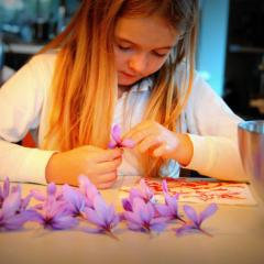 image showing scarlet atkins tyler picking the stamens from saffron crocus flowers at siena house