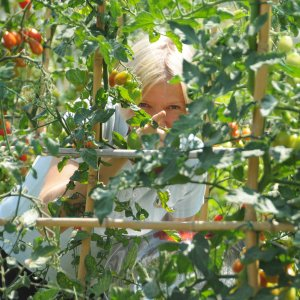 Image showing tomato plants and a blonde woman wearing light blue pointing at the viewer from behind the plants the vine is holding date tomatoes and the woman is the painter from Torrita di Siena, Amanda Helen Atkins picking tomatoes in the gardens of a Tuscan country house