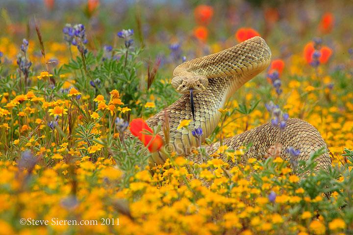 Mojave Green Rattlesnake in the Mojave Desert.