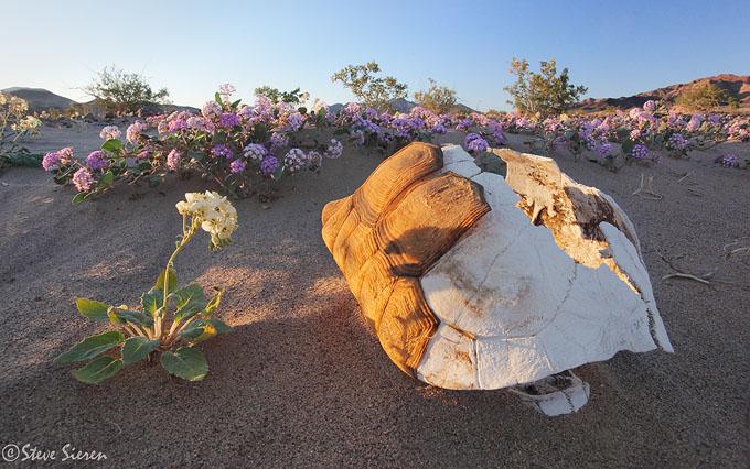 Mojave desert tortiose shell and wildflowers.
