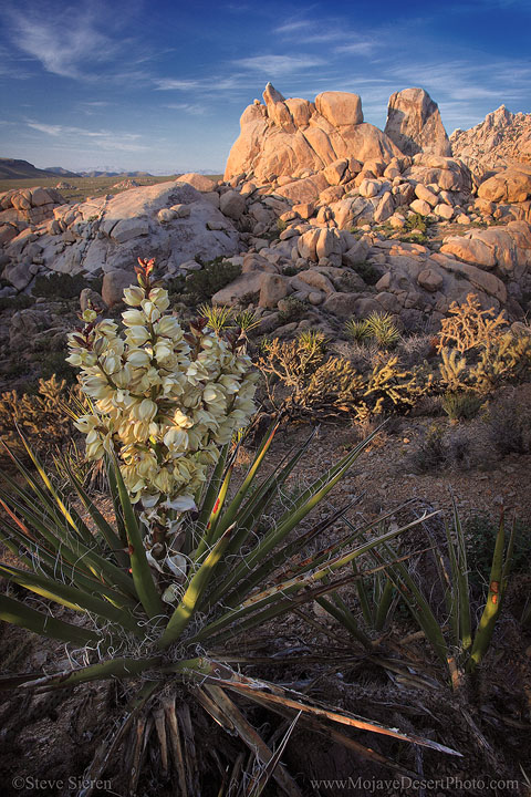 Wild yucca bloom in the Mojave Nature Preserve.  It's a beautiful place most photographers skip out on.
