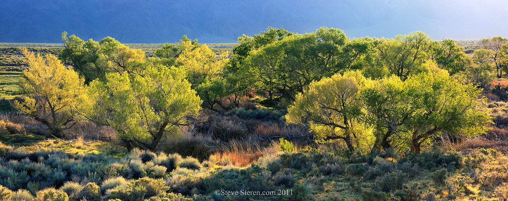 Spring Cottonwoods in the Lower Owens River, Owens Valley