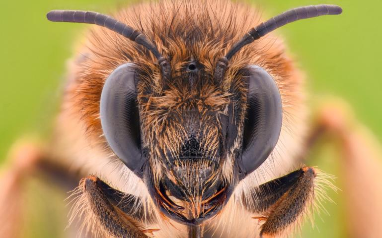 How The Honeybee Buzz Hurts Wild Bees Sierra Club