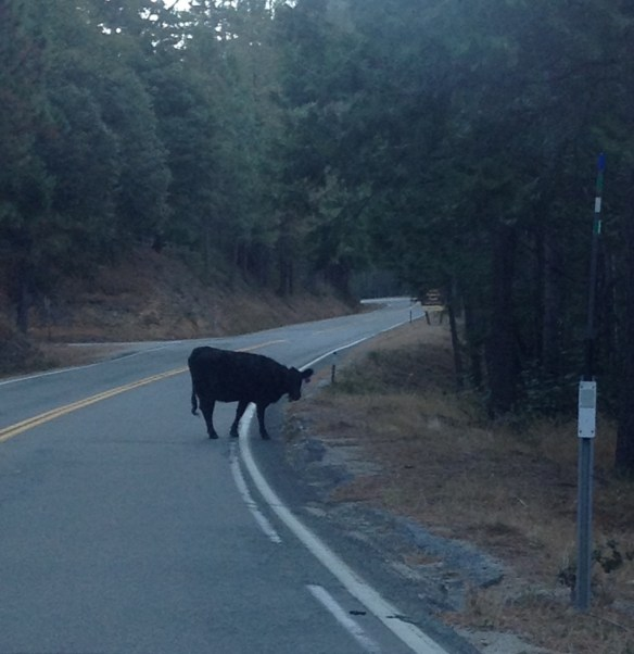 Yesterday morning Megan Parker and her wonderful mommy ran into this bovine. On Highway 49 at Ramshorn.