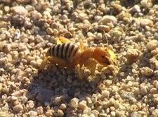 munroe-vinegaroonbug