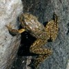 mountain_yellow_legged_frog.jpg