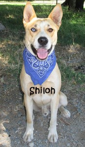 dog-shiloh
