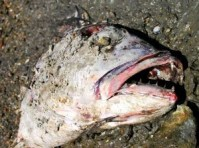 deadfish