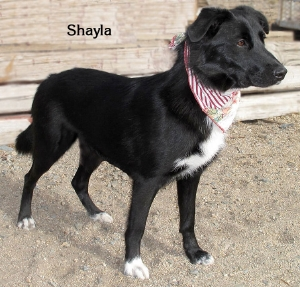 12-11-21 Border Collie mix mama 18 mo SHAYLA 1 ID12-11-002 - OR 11-2 Skarlee Vargas 2481 W Line 873-8276 FACEBOOK