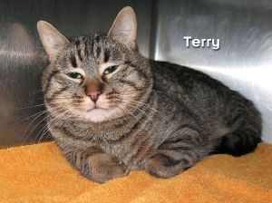 12-12-08 Gray Tabby SH male TERRY ID12-07-018 - FACEBOOK