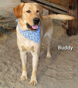 12-12-21 Yellow Lab neut male BUDDY 2 ID12-12-012 - OR 12-14 Ed & Michelle Sandoval 463 Arboles 792-1248 FACEBOOK 2