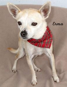 12-12-28 Chihuahua 2 yr ERMA 1 ID12-12-019 - FACEBOOK