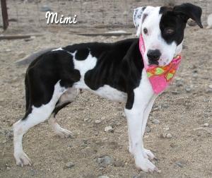 13-02-08 Pit Bull Dalmatian mix 1 yr mama MIMI 1 ID13-02-006 - FACEBOOK