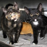 13-06-22 LARK & LEWIS Two of 6 Market St kittens 1 tori & 1 B&W tuxedo AA ID13-05-021 - COLOR NEWSPAPER