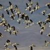 Avocet flock.  Photo by Gail Klett
