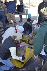 Caption 1: CDFW Biologists, staff and volunteers work closely to give the captured bighorn sheep a complete checkup and recored more than 30 historical and medical data points as well as collect DNA, hair, blood and saliva.