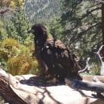Bald eagle bulding a nest while parents watch