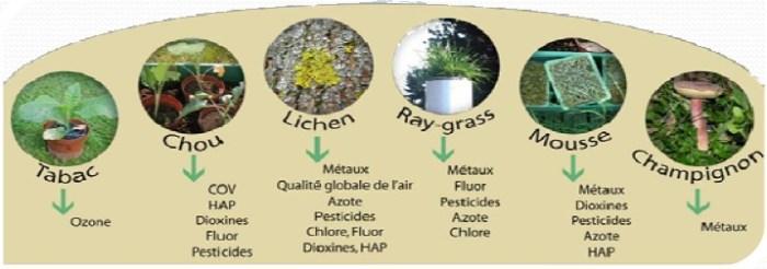 Le tabac, le chou, les lichens, le ray-grass, les mousses et les champignons constituent les principaux modèles végétaux et fongiques de la biosurveillance de la qualité des milieux.